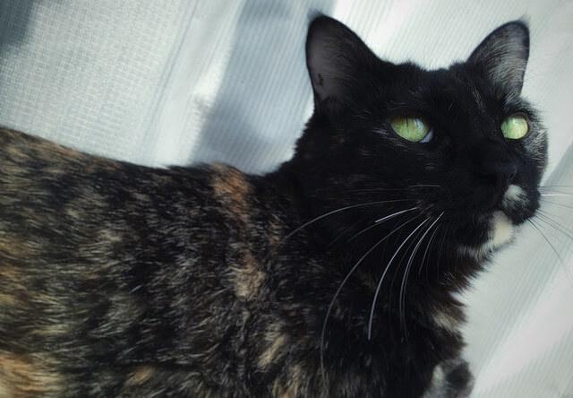 黒目が消えた猫 - 猫の写真素材