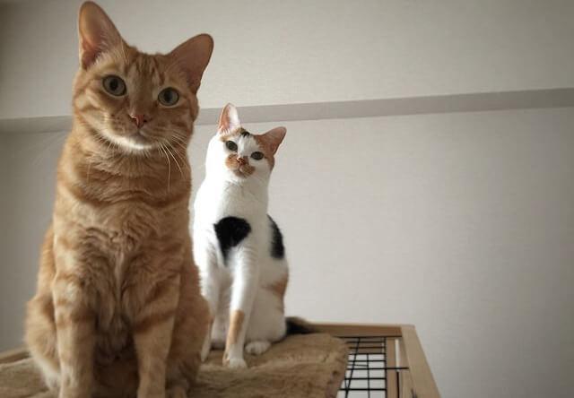 ガン見する茶トラと三毛猫 - 猫の写真素材