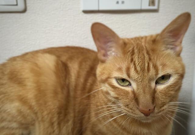 恨めしそうな顔をする茶トラ - 猫の写真素材