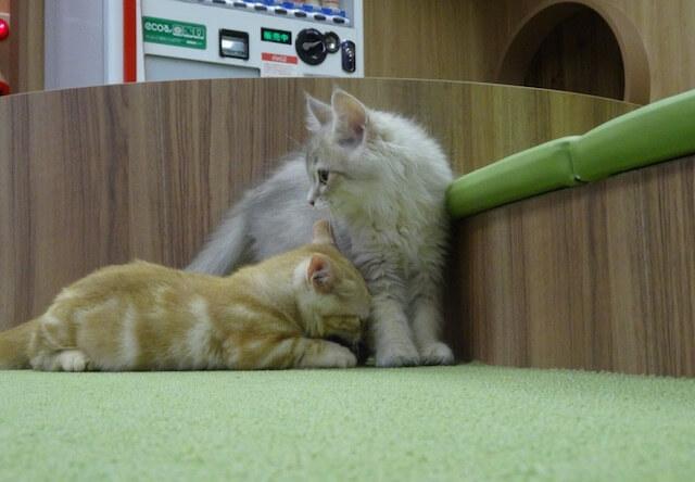 猫カフェ「僕と猫。」の猫たち2