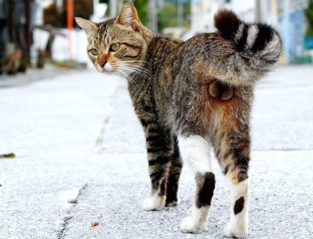 猫のにゃんたま写真