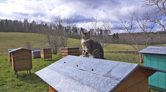 ミツバチと遊ぶネコ