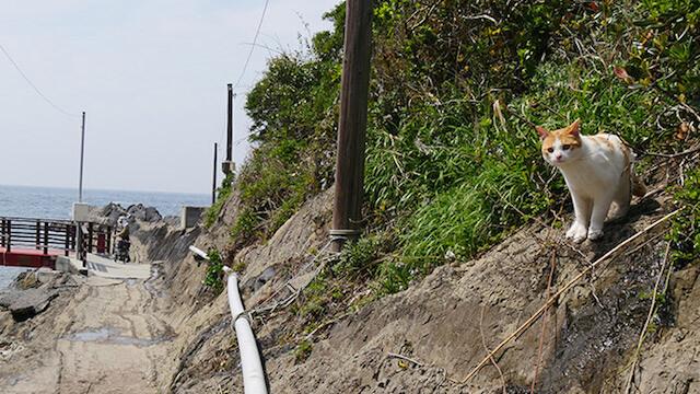 三崎、城ヶ島の猫