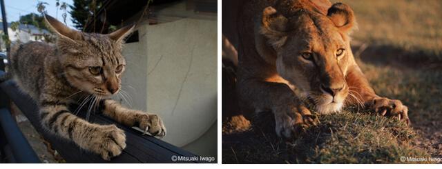 ネコライオン 展示イメージ3