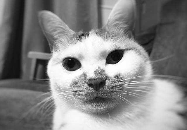 険しい表情の三毛猫 - 猫の写真素材