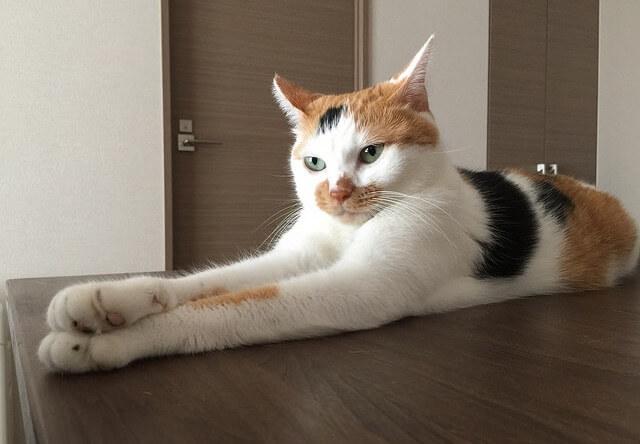 キリッとした三毛猫 - 猫の写真素材