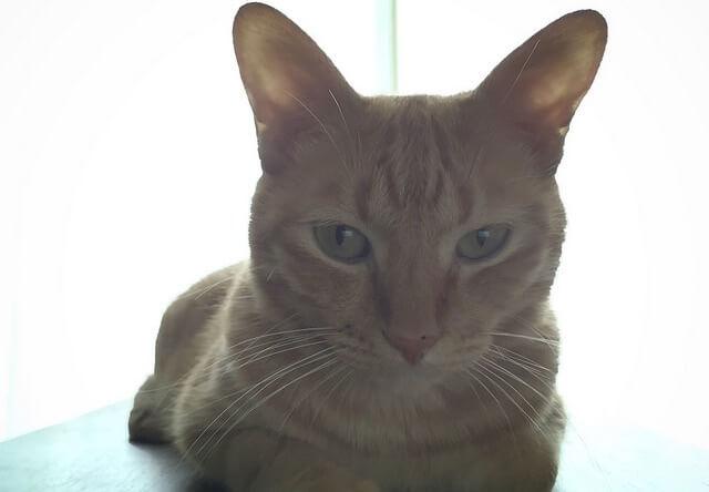 逆光の茶トラ- 猫の写真素材