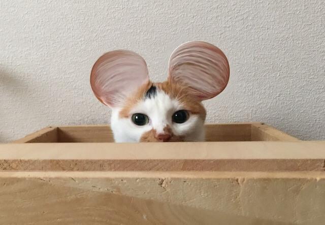 ミッキーマウスのような耳になった三毛猫