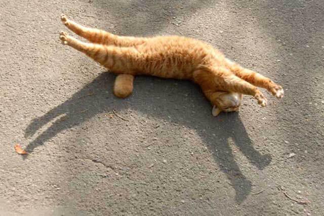 寝転んで伸びる猫