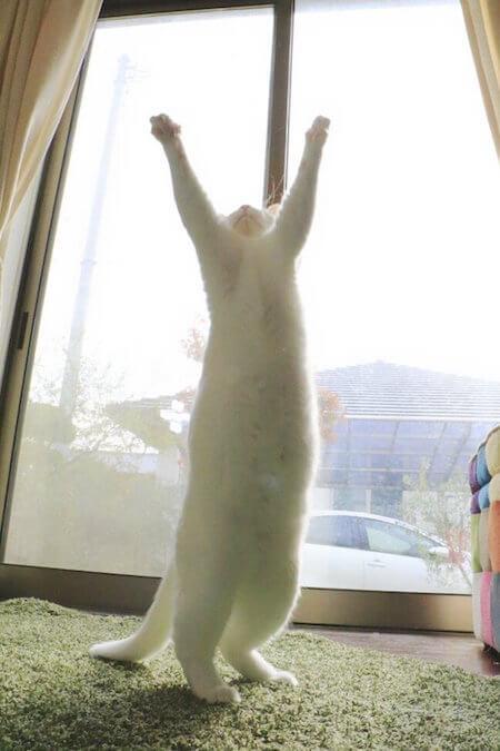 二足立ちする猫