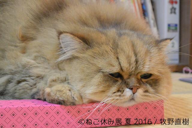 しょんぼり顔の猫「ふーちゃん」