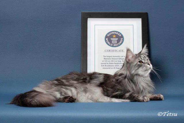 ギネス認定されている世界一長い猫、スティーウィ君