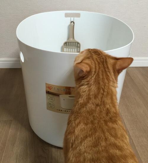 上から猫トイレに興味を示す茶トラ