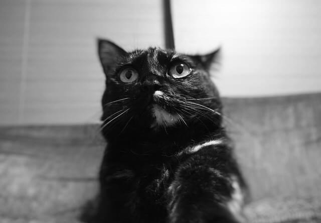 前方を見つめる猫 - 猫の写真素材