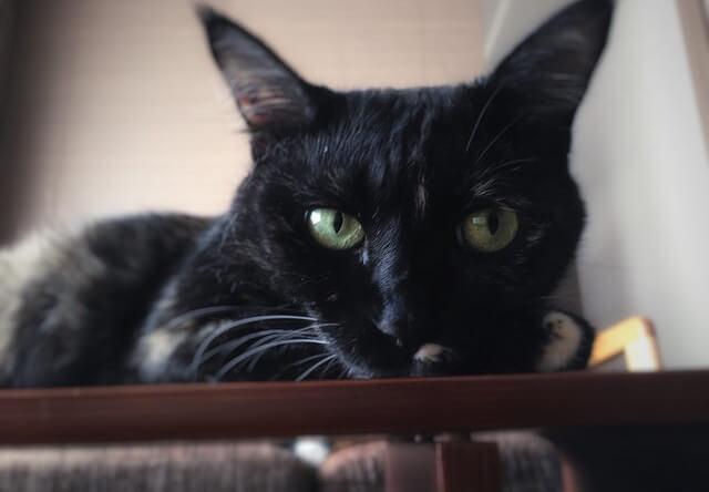 スリム顔の猫 - 猫の写真素材