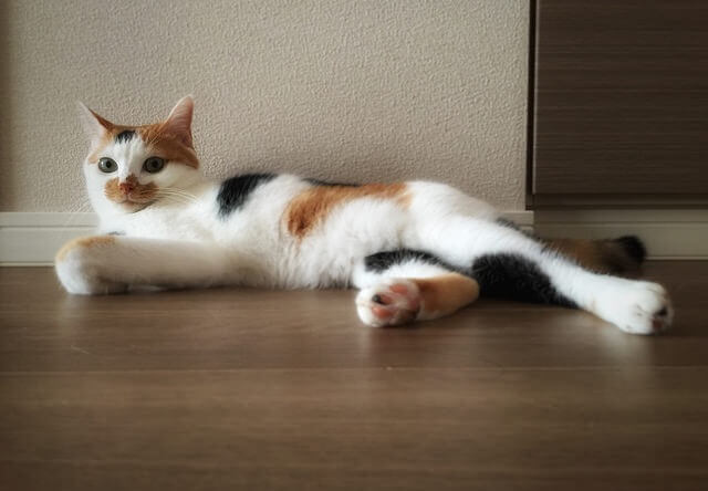 三毛猫の余裕ポーズ - 猫の写真素材