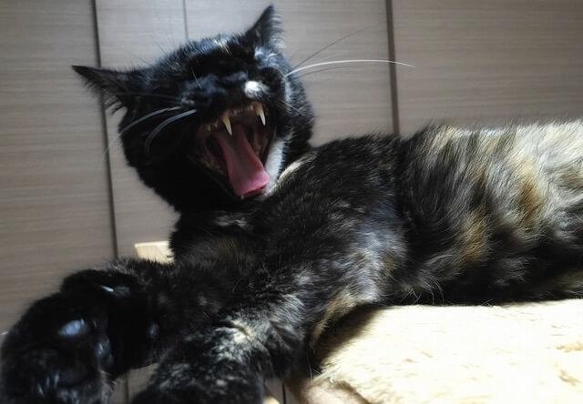 あくびで牙がまる見え - 猫の写真素材
