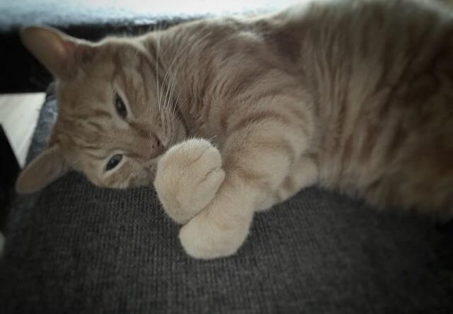 手をクロスする茶トラ - 猫の写真素材