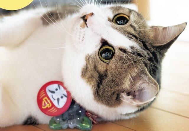 キジ白猫のシュウさま、アップ写真