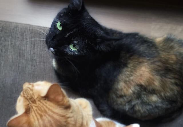 飼い猫に睨まれる – 猫の写真素材