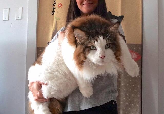 ギネス記録まであと1cm!巨大猫のメインクーンがデカすぎる