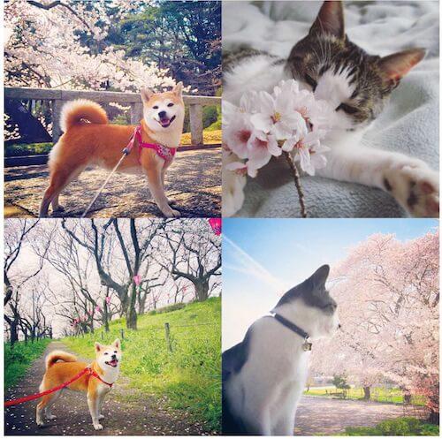 2匹とも桜がとってもお似合い