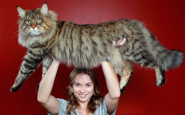 巨大な猫 メインクーンの写真1