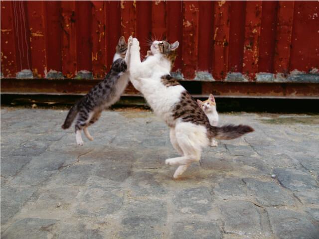 キューバ ハバナの猫