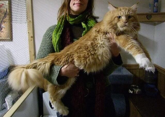 巨大な猫 メインクーンの写真2
