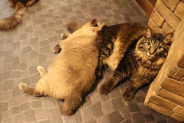 猫カフェ「プリムローズ」の猫たち