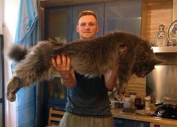 巨大な猫 メインクーンの写真3