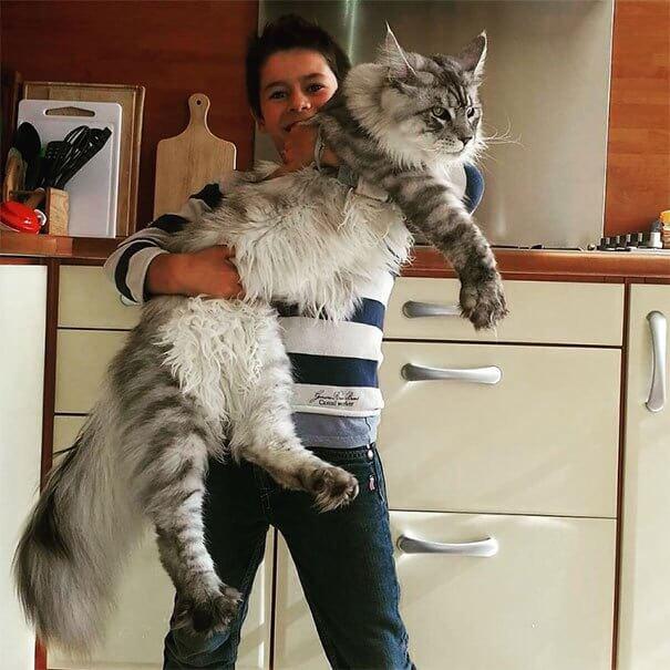巨大な猫 メインクーンの写真4