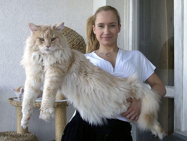 巨大な猫 メインクーンの写真5