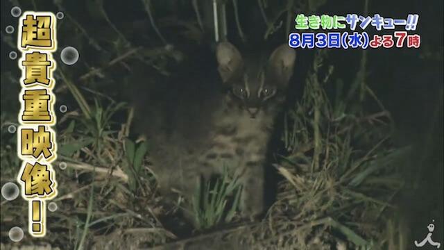 「イリオモテヤマネコ」の子猫に遭遇