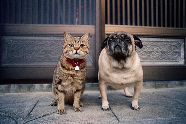 パグ犬と仲良しの猫