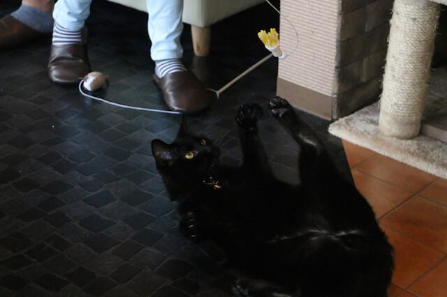 8猫カフェ「プリムローズ」で遊ぶ猫