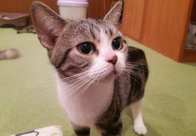 アメリカンショートヘアのメス猫、「カルボ」ちゃん
