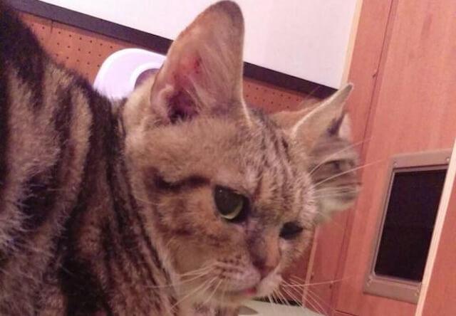アメリカンショートヘアのオス猫、「キャメル」くん