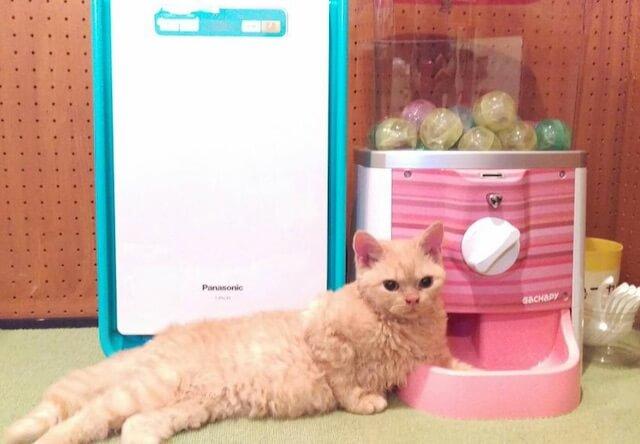セルカークレックスのオス猫、「シュリ」くん
