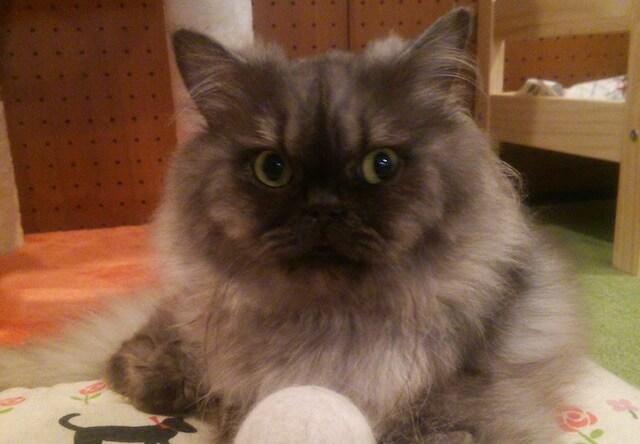 セルカークレックスのオス猫、「タッチ」くん