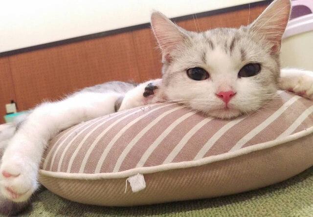 セルカークレックスのオス猫、「銀河」くん