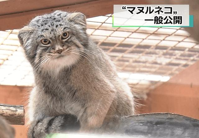 埼玉県こども動物自然公園で、ロシアの動物園から来たマヌルネコを一般公開