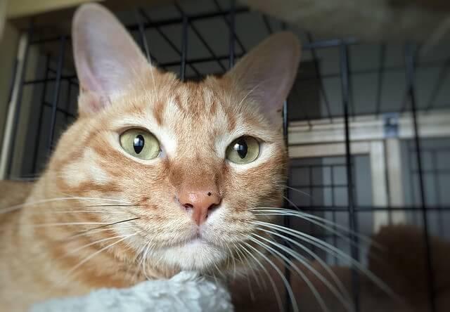 窓の外を見つめる茶トラ - 猫の写真素材