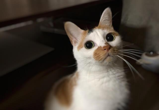 瞳孔を開いた目 - 猫の写真素材