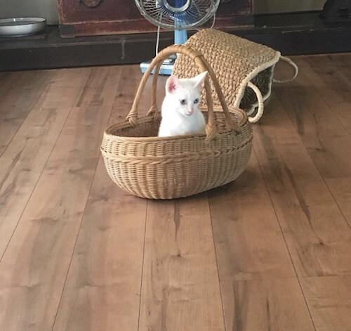 「くつろぎ古民家 まめ猫」の白猫