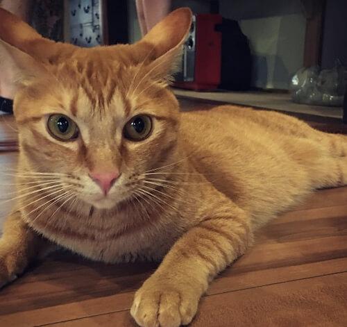 「くつろぎ古民家 まめ猫」の茶トラ