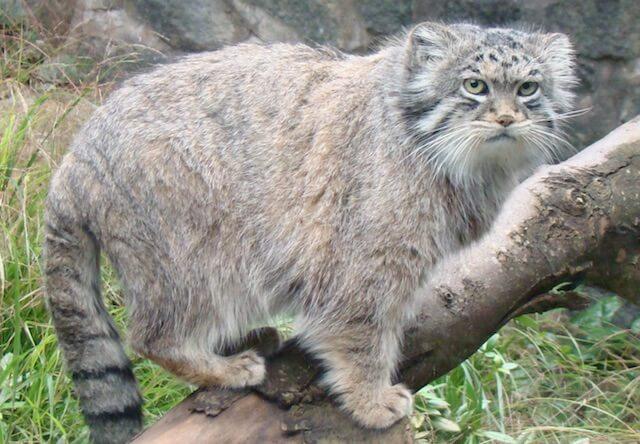 ずんぐりとした体型と、緩くカーブした小さな耳が特徴のマヌルネコ