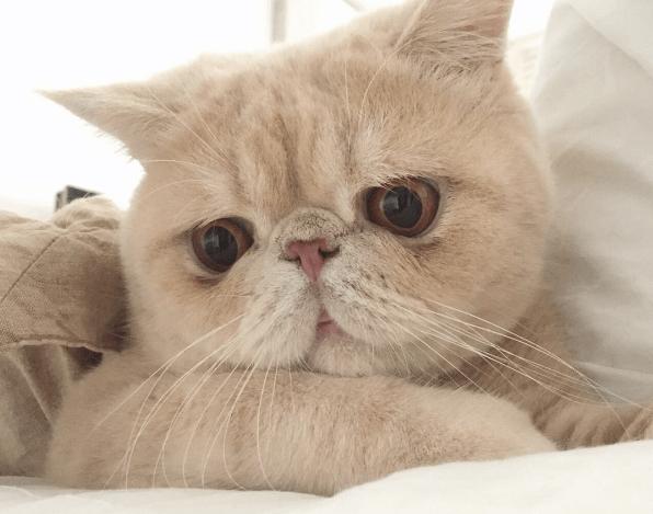 エキゾチックショートヘアの人気猫Mash(マッシュ)