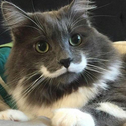 ダンディなヒゲを蓄えている猫、ハミルトン