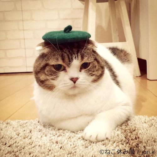 スコティッシュフォールドの人気ネコ、どんぐり